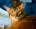 Выставка кошек: Кубок Farus (апрель, 2014)