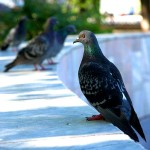 Голуби в сквере Воронина калуга