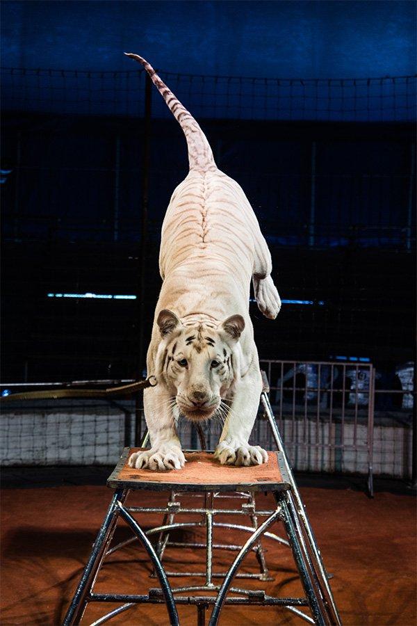 В Калугу приедет уникальный цирк-шапито «Максимус» из Санкт-Петербурга