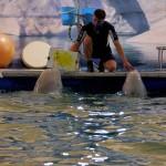 Дельфины с тренером млекопитающих Сергеем Коляденко калуга