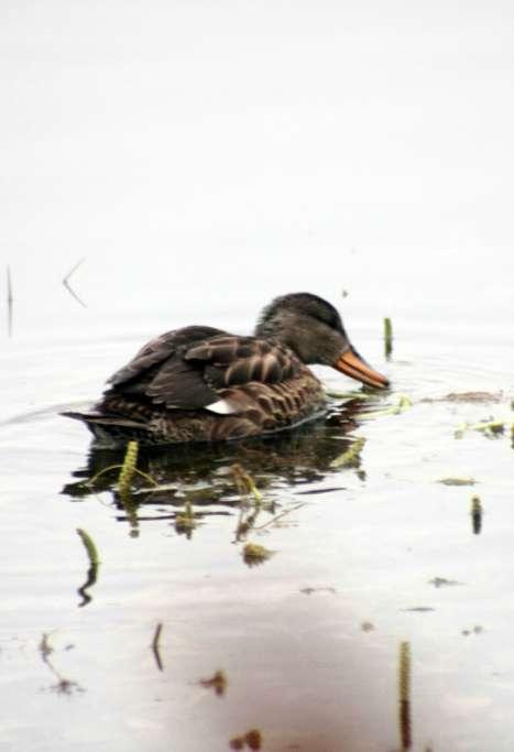 Союз охраны птиц России предложил калужанам сделать «Утиное селфи»