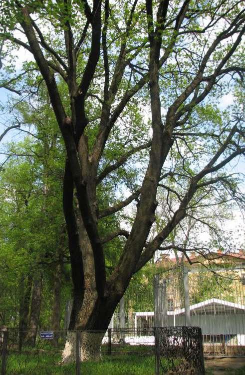 500-летний дуб в Центральном парке вошёл в Национальный реестр старовозрастных деревьев