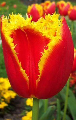 В Калуге по инициативе Константина Баранова распустятся миллион тюльпанов