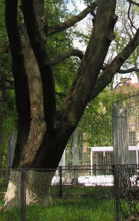 Тайна возраста калужских дубов-памятников раскрыта: они — моложе, чем предполагалось