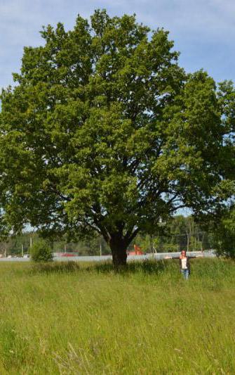 Старинный дуб в Обнинске признали памятником живой природы