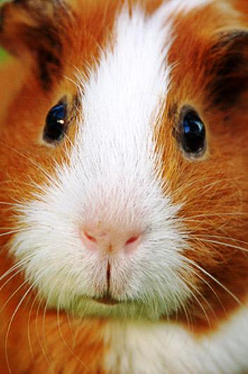 12 декабря в Калуге пройдёт выставка морских свинок