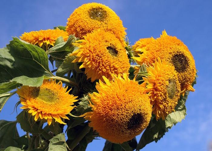 Весной Калугу украсят подсолнухи декоративных сортов