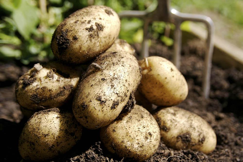 В Бабынино пройдёт второй фестиваль картофеля «Бабынинский район – картофельный край»