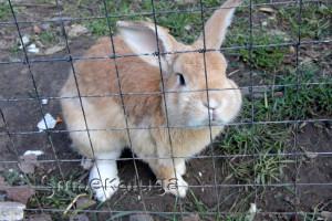 Кролик калуга