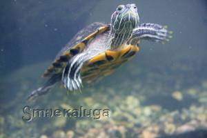 Черепаха калуга