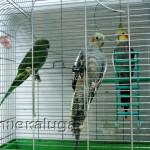 Попугаи калуга