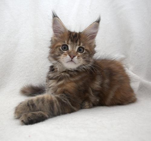 В Калуге вновь пройдёт выставка кошек «Кубок Farus»: в этот раз организаторы разыграют приз – котёнка породы мейн-кун