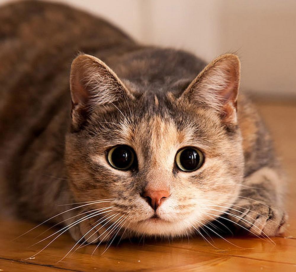 В Калуге пройдёт шестая Выставка-раздача кошек