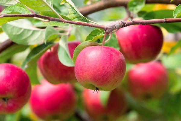 В Калужской области высадят яблоневые сады по новой технологии