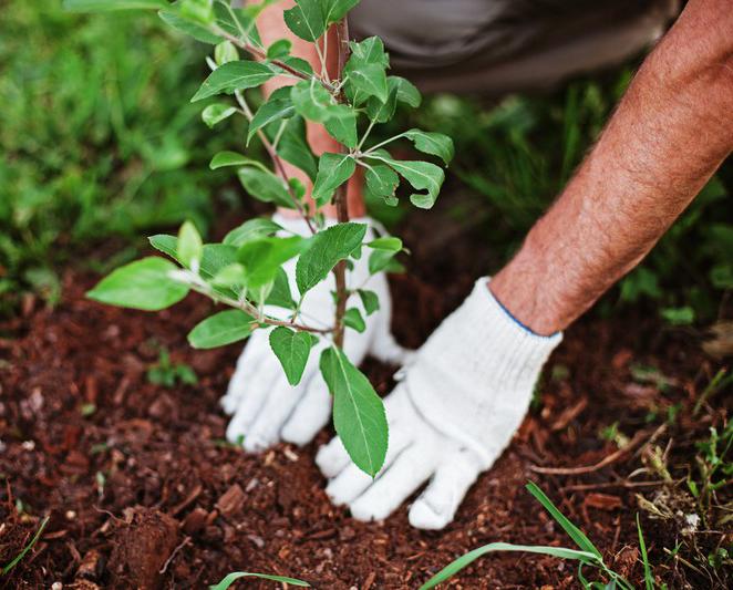 В Калуге высадили более 1000 деревьев