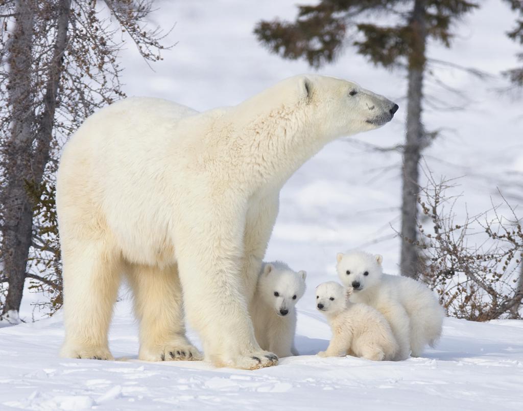 Сегодня Международный День полярного медведя