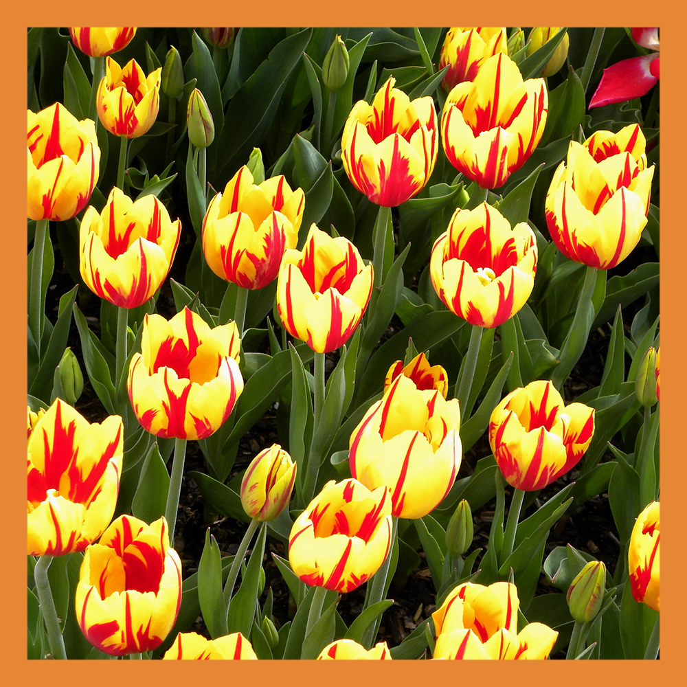 В Калуге высадят 300 тысяч тюльпанов